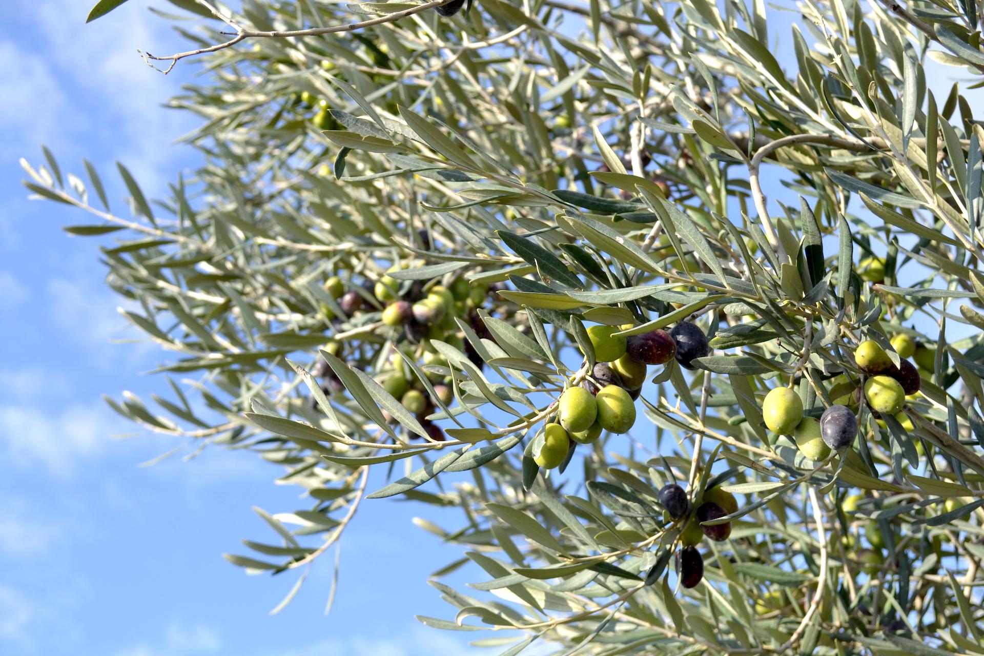 Olijven plukken in Puglia in het zuiden van Italië